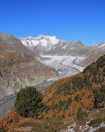 colorful autumn forest and aletsch glacier