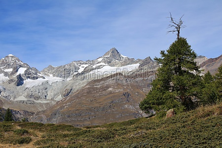 mt zinalrothorn and old larch tree