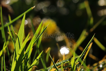 grasses backlit by the sun
