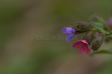 colorful lungwort herb detail view right