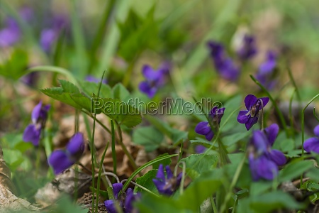 many fresh fragrant violets in the