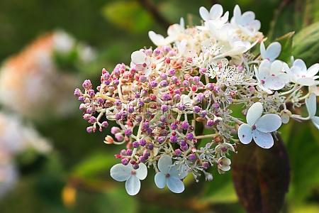 tiny purple hydrangea buds about to