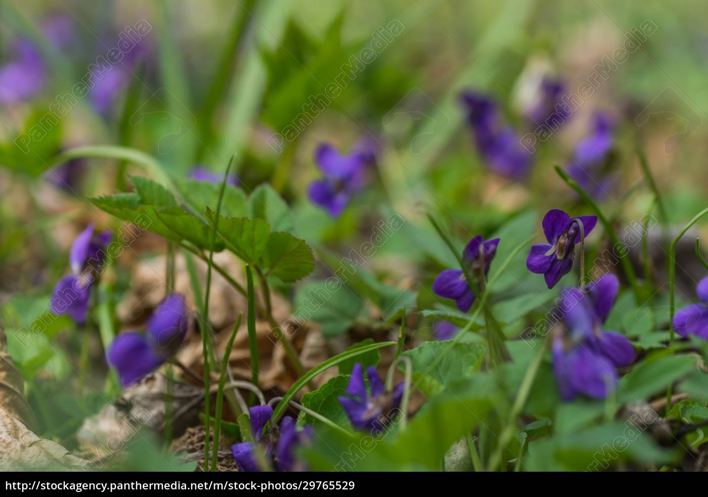 many, fresh, fragrant, violets, in, the - 29765529