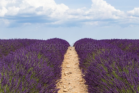 lavender cultivated field on the path