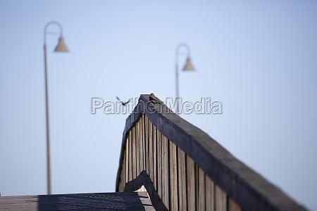 pair of brown headed cowbirds on