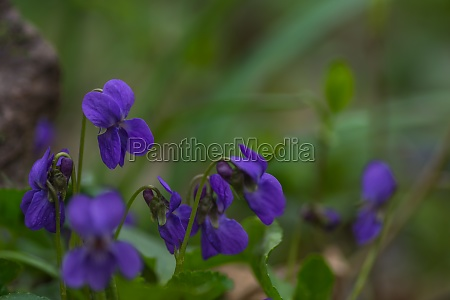 fresh fragrant violet in the green