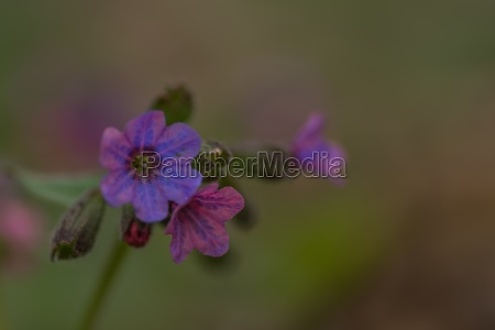 fresh, lungwort, herbs, for, tea, closeup - 29767889
