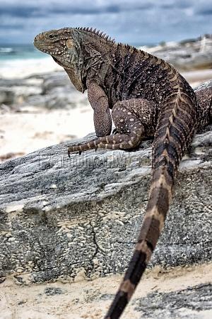 cuban whorltail iguana