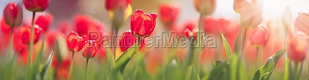 tulips in flower beds in the