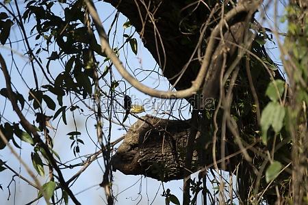 curious pine warbler