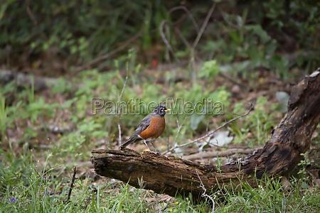 curious american robin