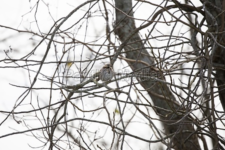 curious song sparrow on a tree