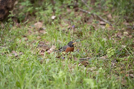 wary american robin foraging for food