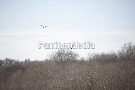 vultures in flight