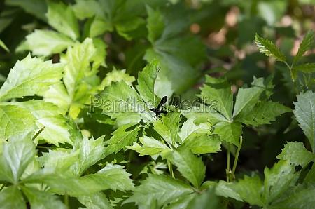 bent shielded besieger wasp