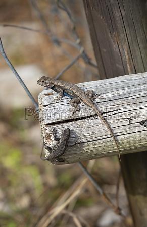 eastern fence lizards