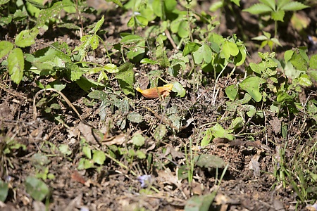 fallen trumpet vine flower