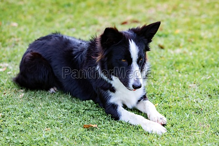 beautiful border collie black and white