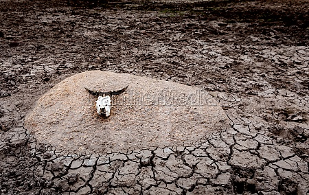 cracked ground with a cattle skull