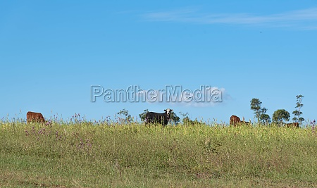 cattle farming in the fields of