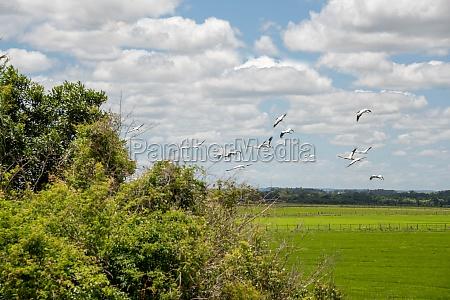 flock of storks ciconia maguari flock