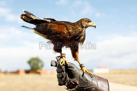 eagle perched on the mans hand
