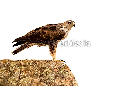awesome bird of prey solated on