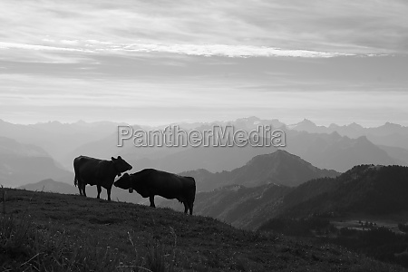 morning scene on the rigi cows
