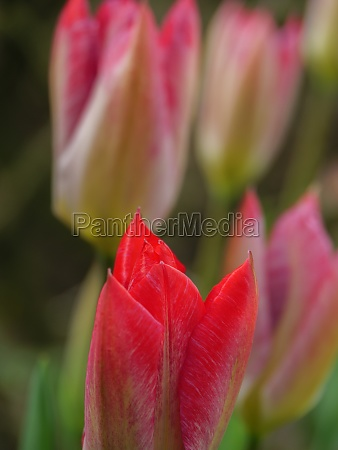 tulips in a german garden