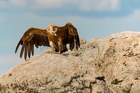 adult black vulture eating on a