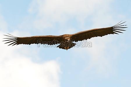 big vulture in flight