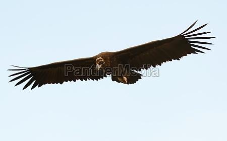 big black vulture in flight