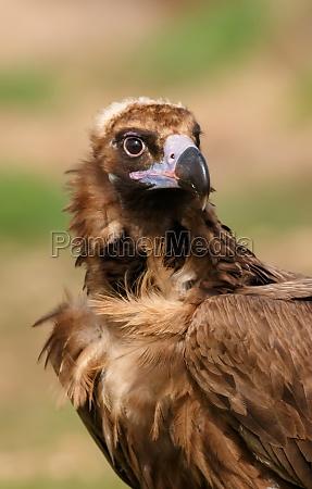 the majestic black vulture