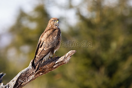 common buzzard sitting on branch in