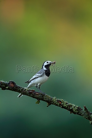 white wagtail holding insect in beak