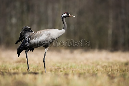 common crane walking on meadow with