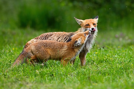 two red fox touching with nose