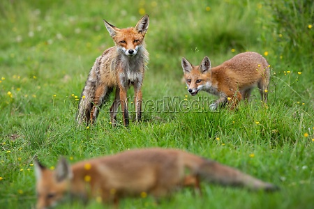 little red fox with mother playing