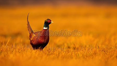 common pheasant male standing on dry