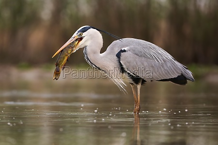 grey heron hunting for a fish