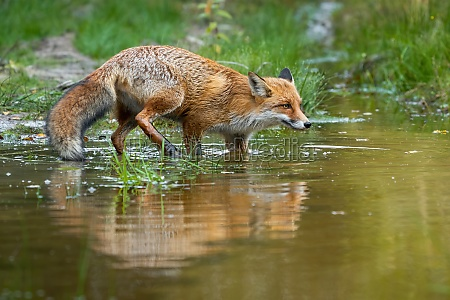 red fox sneaking around in swamp