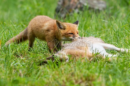 young red fox cub tearing a