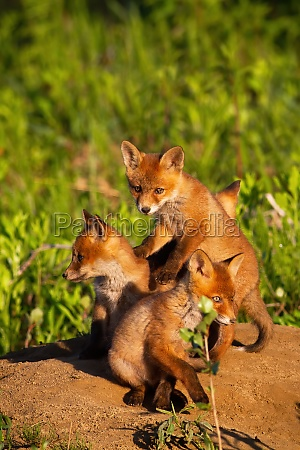 red fox siblings playing on sand