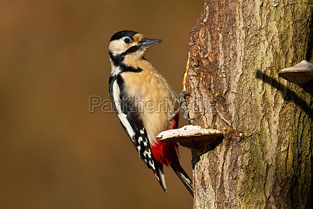 great spotted woodpecker sitting on tree