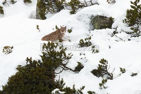 eurasian lynx stalking prey in snowy