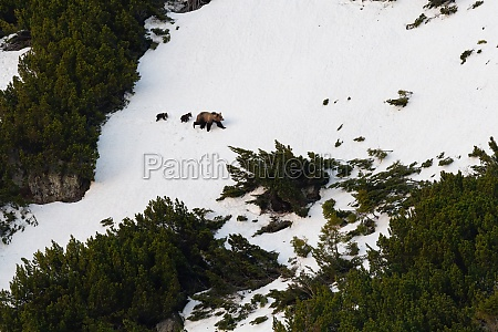 brown bear with cubs walking on
