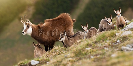 bunch of tatra chamois standing on