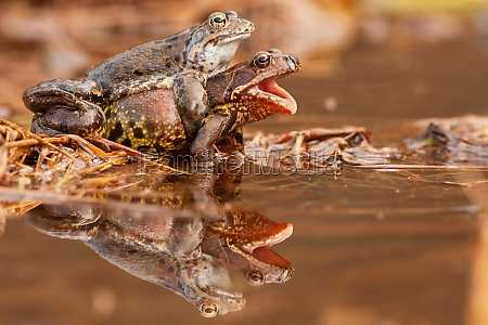 two common frog mating in pond