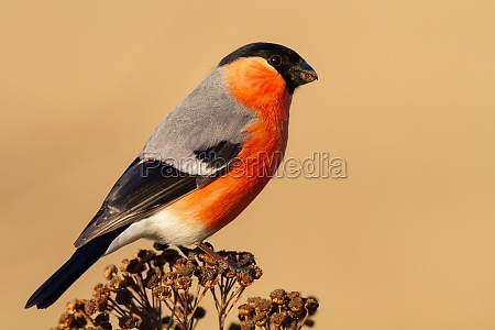 adult male of eurasian bullfinch perched