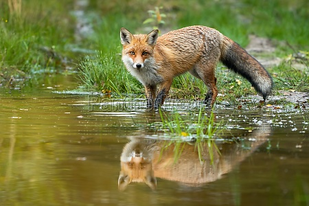 red fox wading in water with